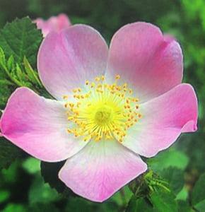 Cortador da Folha da Flor Briar Rose