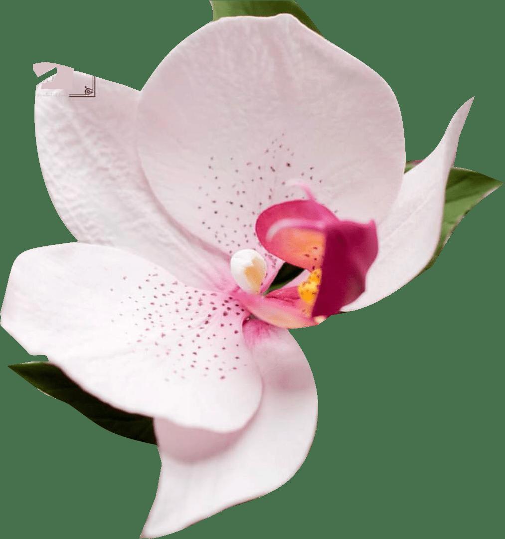 Cortador de Flor Orquídea Phalaenopsis Conjunto com 4 peças
